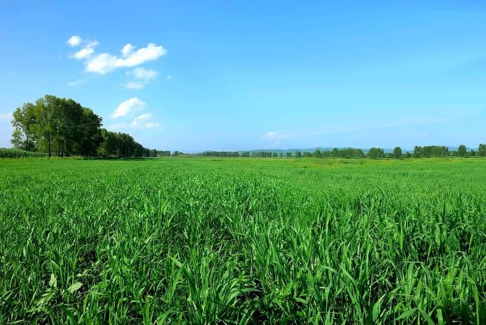 Gerstengras-Feld