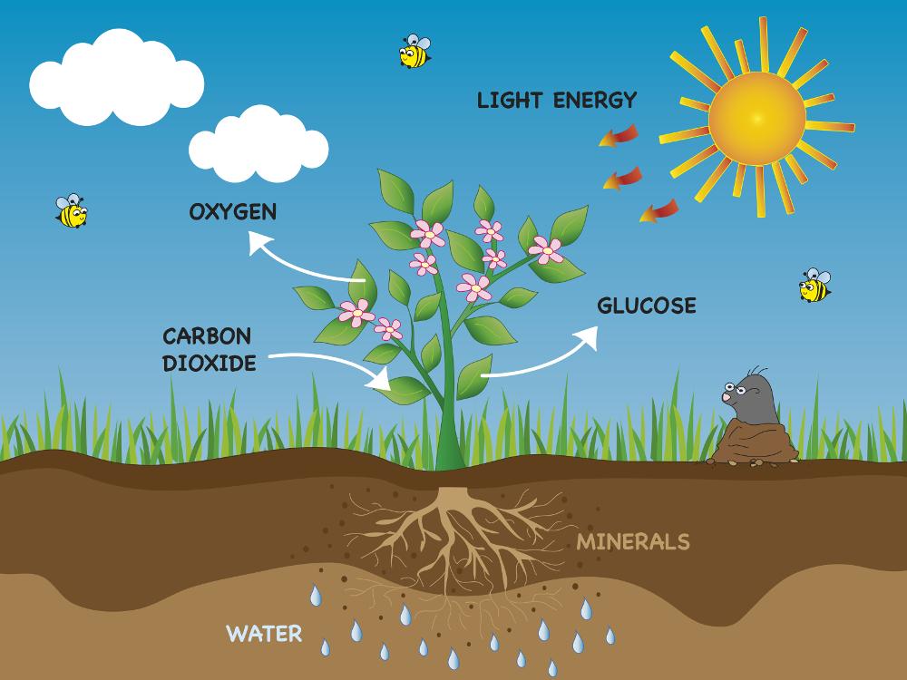 Grafik-Photosynthese